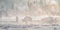 Backlit Bison (CR Courson) Tags: mist nature sunrise buffalo wildlife yellowstonenationalpark yellowstone bison ynp naturephotography wildlifephotography crcourson chuckcourson bisoninthemist crcoursonimagescom