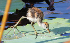 Juvie Comb crested jacana.jpg (Janis May) Tags: