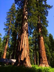 Mariposa Grove of Giant Sequoias (Robby Edwards) Tags: california trees vacation nationalpark yosemite yosemitenationalpark giantsequoias mariposagrove californiatunneltree