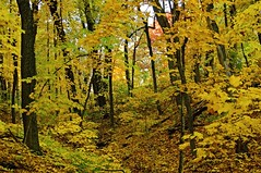 The Yellow Forest (Cole Chase Photography) Tags: autumn color fall burlington canon october iowa t3i crapopark
