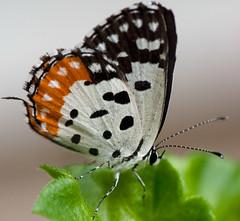 Red Pierrot (Mike Prince) Tags: india bangalore butterflies blues lepidoptera karnataka lycaenidae butterfliesandmoths bengaluru insectsandspiders frazertown redpierrot talicadanyseus