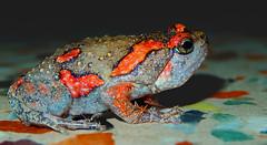 Sri Lankan painted frog (Soumik's Photography (Wildlife)) Tags: orange color painted wildlife amphibian bull frog srilankan