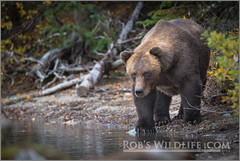 Coastal Brown Bear 091914-39444480-W.jpg (RobsWildlife.com  TheVestGuy.com) Tags: bear travel wild nature alaska canon outdoors photography wildlife fineart professional adventure anchorage getty wilderness anc epic gettyimages wildlifephotographer brownbear animalart wildanimals animalprints 2014 crescentlake redoubt canoncamera wildlifeart rml wildlifephotography redoubtlodge lakeclarknationalpark redoubtmountainlodge chigmitmountains wildalaska alaskawild alaskaadventure coastalbrownbear wildlifeprints robdaugherty thevestguycom robswildlifecom robswildlife 8016989080 epicwildlifeadventures northernaleutianrange robswildlifecom 2014robswildlifecom