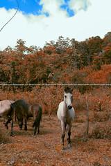 I Want To Capture A Horse | Mamut (Arief Rasa) Tags: wild horse white animal ride colt stallion