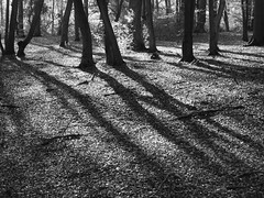 In a Beech Wood (cycle.nut66) Tags: wood autumn trees light shadow blackandwhite white black tree monochrome leaves shadows olympus jour trunks grayscale contra beech falen backlt epl1 microfourthirds mzuiko