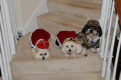 King, Queen and Army Dogs for Halloween (picturetakingone) Tags: dog dogs halloween costume puppies suits king or queen clothes treat trick 2014