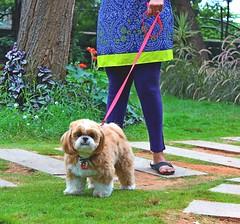 IMG_3502_r (manasi marathe) Tags: dogs canine smalldogs agilitytraining dogowners funnydogs furrydogs rastacafe thinkdog shirinmerchant caninecancare