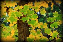 palette... (LILI 296....!!!) Tags: jaune automne vert toulouse feuille tronc canoneos450d