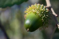 Quercus suber (Eric Hunt.) Tags: fruit oak quercus seed acorn corkoak fagaceae quercussuber