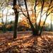 Oak trees in autumn glow