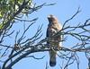Broad winged Hawk (helmutnc) Tags: hg sweetfreedom specanimal hennysanimals dailynaturetnc12