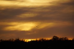Swan in sunset (osto) Tags: sunset sky cloud sun denmark europa europe sony zealand scandinavia danmark slt a77 sjlland virum fures frederiksdal osto alpha77 osto november2014