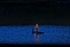 MidnightSwim (jmishefske) Tags: park moon nature wisconsin night franklin geese pond center canadian milwaukee moonlight wehr whitnall mallardlake halescorners