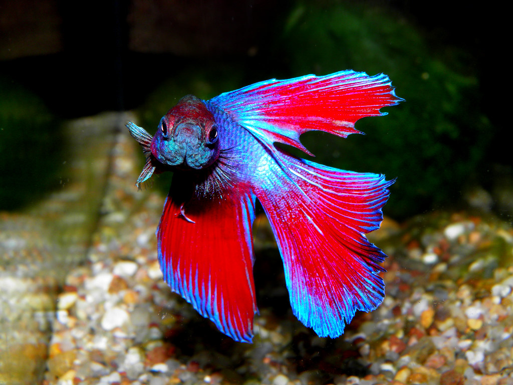 The world 39 s best photos of aja and fish flickr hive mind for Betta tropical fish