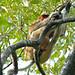 Proboscis Monkey (Nasalis larvatus) : erotic dream ?