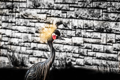 East African Black Capped Crane (Camera_fanatic) Tags: usa black color colour bird nature colors animals america photoshop photography zoo san texas colours pentax crane african wildlife united east adobe states antonio tamron capped ricoh lightroom selectivecolour 18250 k30 animaladdiction