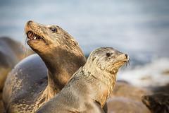 Protective Mother (Gwmullis) Tags: gregmullisphotography la jolla cove seal san diego