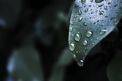 RainTime (tiki.thing) Tags: rain leaf leaves water waterdroplet wet green garden raindrop shine light