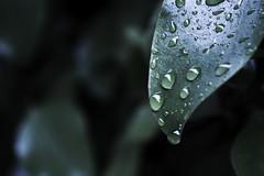 RainTime (tiki.thing) Tags: rain leaf leaves water waterdroplet wet green garden raindrop shine light