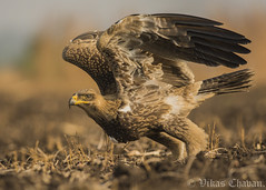 Ready for Take-off !! (Vikas.B.Chavan) Tags: nikond7100 afsnikkor300mmf4difed tawnyeagle aquilarapax naturethroughthelens