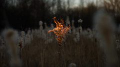 natures grave (Moonpollution) Tags: nature flower beauty beautiful dark darkness art abstract grave muk moonpollution murk bulrush fire bog forest sunset gloom drear mourn mournfull