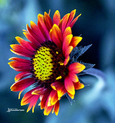 Firewheel (haidarism (Ahmed Alhaidari)) Tags: firewheel indian blanket indianblanket gaillardiapulchella sundance flower color colorful nature beauty outdoor bokeh macro macrophotography depthoffield sonya65 h