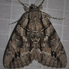 08788 Yellow-gray Underwing (mcdaniel1954) Tags: 716