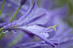 Agapanthus (Yani Dubin) Tags: purple canterbury agapanthus monavale autumn newzealand nature refractions gimp flower droplets lilyofthenile tokinaaf100mmf28macro christchurch darktable wet d7000 plant color colour water green praecox raining