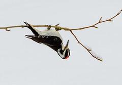 Hairy Woodpecker (halladaybill) Tags: hairywoodpecker snow upsidedown california seaandsageaudubon bigpine glacierlodge easternsierras