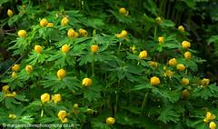 Aconites 1 (margaretc1946) Tags: aconite wildflower pentax k5 tamron90mmmacrolens gloucestershirewildlifetrust
