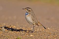 Bluethroat (drbut) Tags: bluethroat lusciniasvecica chatsandthrushes turdidae vagrant nature bird birds wildlife outdoor
