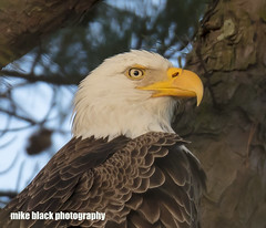 Bald Eagle Canon 5DSR + Canon 800mm 100% crop (Mike Black photography) Tags: bald eagle bird nature canon 5dsr 600mm 800mm is usm l lens nj new jersey photo photography trees belmar wall black white sky blue raptor feather