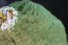 Mold growing on a dekopon mandarin orange (DigiPub) Tags: mold mould fungi multicellular hyphae 黴菌 絲狀真菌 カビ コロニー greenishcolor fungalmold food mycotoxin death 2017 aflatoxin citrusfruit closeup cutout extremecloseup fruit fungus greencolor horizontal macro rotting singleobject stilllife indulgence ascomycete biology greenmold illness microbiology penicillium penicilliumnotatum spore