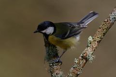 _F0A6606.jpg (Kico Lopez) Tags: carbonerocomún galicia lugo miño parusmajor spain aves birds rio