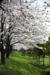Sakura (Jill-Wang) Tags: noctilux m9 50mm bokeh sakura busan southkorea