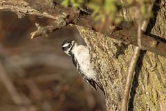 Downy Woodpecker (wn_j) Tags: birds birding nature naturephotography animals wildlife wildanimals wildlifephotography woodpecker canon canon5d4 heinzwildlife heinz heinznwr johnheinz