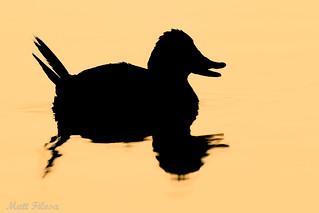Ruddy Duck Silhouette