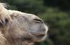 ZOO0191 (Akira Uchiyama) Tags: 動物たちのいろいろ 鼻 鼻ラクダ