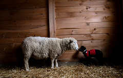 Mother's Kiss (AndrewCline) Tags: sheep farm pen stall hay livestock lamb baby tiny black white cute adorable parenting mother motherhood family barn wood wall coat spring newborn dark shadow parenthood love kiss loving caring care affection affectionate