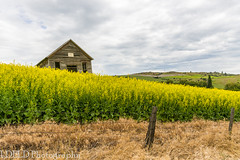 NT3.0033-CW1605618_38588 (LDELD) Tags: palouse cottonwood idaho unitedstates us fields green spring clouds stormy canola flowers old abandoned school house schoolhouse oneroomschool stockcreekschoolhouse fence