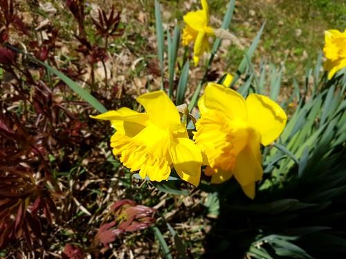 Spring in my garden - Narzissen