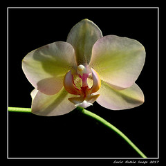 Orchid (cienne45) Tags: orchid orchidea