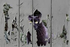 Peeking Lillie [Explored] (pwendeler) Tags: cat katze lillie wand wall paint farbe abblättern peelingoff blackcat schwarzekatze sony