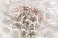 Dandelion (Vassili Balocco) Tags: fiore flower soffione dandelion semi seeds taraxacum macro closeup