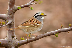 White-throated sparrow (lindapp57) Tags: whitethroated sparrow