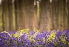 Bluebell wood (frattonparker) Tags: nikond810 tamron28300mm raw lightroom6 frattonparker btonner cloudwhisperer sussex bluebells beech woodland estate dawn ferns