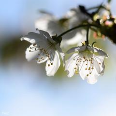 Carré printanier !! (thierrymazel) Tags: carré printemps spring fleurs flowers blossom macro bokeh profondeur champ nature jardin lumineux pastel