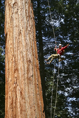 """Climber and Rigger Jeff Deutsch swinging on a rope to get into position for filming during production of """"Ground to Crown"""" - June 2011 (tenacityinpursuit) Tags: california giantsequoia jeffdeutsch jugging northamerica treeclimbing whitakersforest"""