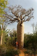 DSC07452_DxO_Bildgröße ändern (Jan Dunzweiler) Tags: madagaskar africanbikers reniale renialareserve jandunzweiler baobab affenbrotbaum