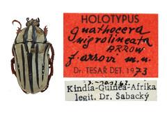 Gnathocera nigrolineata f. arrowi Tesař, 1973 HOLOTYPUS (Petr Mückstein) Tags: cetoniinae type holotype paratype gnathocera tesař tesar muzeum východních čech hradec králové czech republic